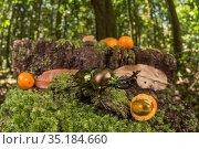 Mueller's stag beetle (Phalacrognathus muelleri) male in forest... Стоковое фото, фотограф Jurgen Freund / Nature Picture Library / Фотобанк Лори