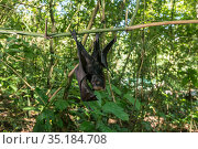 Golden-crowned flying fox (Acerodon jubatus) orphan which fell from... Стоковое фото, фотограф Jurgen Freund / Nature Picture Library / Фотобанк Лори