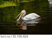 A pelican tries to catch fish in a pond. Стоковое фото, фотограф Restyler Viacheslav / Фотобанк Лори