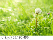 Summer background of green grass dandelion in the morning dew. Bright morning background. Стоковое фото, фотограф Икан Леонид / Фотобанк Лори