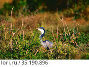 Blackheaded Heron, Ardea melanocephala, Ardeidae, bird, animal, Addo... Стоковое фото, фотограф R. Kunz / age Fotostock / Фотобанк Лори