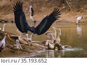 Birds squabbling over fish in the Msicadzi River. Pink-backed pelican (Pelecanus rufescens) biting at the head of another pelican with a pouch full of... Стоковое фото, фотограф Jen Guyton / Nature Picture Library / Фотобанк Лори