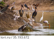 Nile crocodile (Crocodylus niloticus) at water's edge to feed on Great white pelican (Pelecanus onocrotalus) prey. With birds on the shore including pink... Стоковое фото, фотограф Jen Guyton / Nature Picture Library / Фотобанк Лори