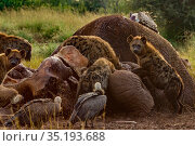 Spotted hyenas (Crocuta crocuta), Rüppell's griffon vultures (Gyps rueppelli) and white-backed vultures (Gyps africanus) at the carcass of an elephant... Стоковое фото, фотограф Jen Guyton / Nature Picture Library / Фотобанк Лори