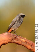 Black redstart (Phoenicurus ochruros) in the Serranía del Turia. ... Стоковое фото, фотограф Valentín Rodríguez / age Fotostock / Фотобанк Лори