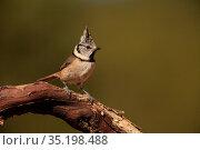 Crested tit (Parus cristatus) in the Serranía del Turia region. Valencia... Стоковое фото, фотограф Valentín Rodríguez / age Fotostock / Фотобанк Лори