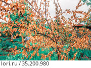 dead withered apricot tree in the garden with berries on a summer day. Стоковое фото, фотограф Акиньшин Владимир / Фотобанк Лори