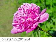 Розовый пион (лат. Paeonia) в саду крупным планом. Стоковое фото, фотограф Елена Коромыслова / Фотобанк Лори