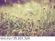 Dandelion flowers in drops of morning dew. Стоковое фото, фотограф Икан Леонид / Фотобанк Лори