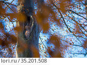 Tawny owl (Strix aluco) pair resting in nest hole, in tree with autumn leaves. The Netherlands. December. Стоковое фото, фотограф Edwin Giesbers / Nature Picture Library / Фотобанк Лори