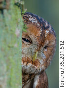 Tawny owl (Stix aluco) behind tree trunk, portrait. Near Amsterdam, The Netherlands. February. Стоковое фото, фотограф Edwin Giesbers / Nature Picture Library / Фотобанк Лори