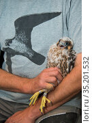 Peregrine falcon (Falco peregrinus) chick aged 4-5 weeks held during ringing session. Utrecht, The Netherlands. April 2019. Стоковое фото, фотограф Edwin Giesbers / Nature Picture Library / Фотобанк Лори