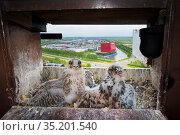 Peregrine falcon (Falco peregrinus), two chicks aged 4-5 weeks at nest on hotel balcony, overlooking city. Houten, Utrecht, The Netherlands. May 2018. Стоковое фото, фотограф Edwin Giesbers / Nature Picture Library / Фотобанк Лори