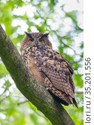 Eurasian eagle owl (Bubo bubo) perched on branch. The Netherlands. June. Стоковое фото, фотограф Edwin Giesbers / Nature Picture Library / Фотобанк Лори