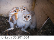 Barn owl (Tyto alba) chicks aged 9-10 weeks in nest box. The Netherlands. August. Стоковое фото, фотограф Edwin Giesbers / Nature Picture Library / Фотобанк Лори