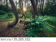 So called Crooked Forest (Polish: Krzywy Las) with oddly-shaped pine... Стоковое фото, фотограф Konrad Zelazowski / age Fotostock / Фотобанк Лори