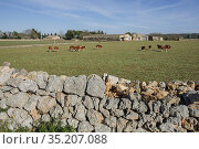 Flock of red sheep on a farm, Cas Canar, Sencelles, Mallorca, Balearic... Стоковое фото, фотограф Tolo Balaguer / age Fotostock / Фотобанк Лори