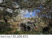 Olive grove, Orient valley, Mallorca, Balearic Islands, Spain. Стоковое фото, фотограф Tolo Balaguer / age Fotostock / Фотобанк Лори