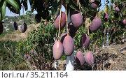 Ripe mango on a branch in the garden. Стоковое видео, видеограф Яков Филимонов / Фотобанк Лори