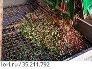Olives unloading to discharge hopper. Стоковое фото, фотограф Яков Филимонов / Фотобанк Лори