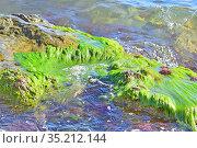 Большой красивый камень, покрытый изумрудными водорослями, омывается прибрежной морской волной. Стоковое фото, фотограф Владимир Литвинов / Фотобанк Лори