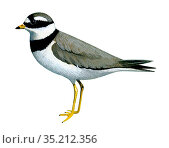 Illustration of Ringed Plover (Charadrius hiaticula) Стоковое фото, фотограф Chris Shields / Nature Picture Library / Фотобанк Лори