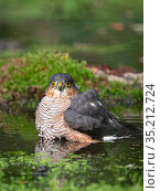 Eurasian sparrowhawk (Accipiter nisus) male bathing in pool. North Norfolk, England, UK. October. Стоковое фото, фотограф David Tipling / Nature Picture Library / Фотобанк Лори