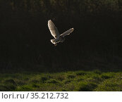 Barn owl (Tyto alba) hunting in grassland at dawn. North Norfolk, England, UK. February. Стоковое фото, фотограф David Tipling / Nature Picture Library / Фотобанк Лори