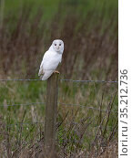 Barn owl (Tyto alba) leucistic bird perched on fence post. North Norfolk, England, UK. February. Стоковое фото, фотограф David Tipling / Nature Picture Library / Фотобанк Лори