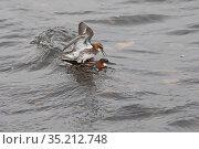 Red-necked phalarope (Phalaropus lobatus) pair mating. Loch Funzie, Fetlar, Shetland Islands, Scotland, UK. June. Стоковое фото, фотограф David Tipling / Nature Picture Library / Фотобанк Лори