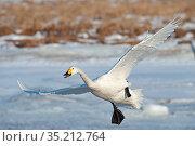 Whooper swan (Cygnus cygnus) landing on snow. Hokkaido, Japan. February. Стоковое фото, фотограф David Tipling / Nature Picture Library / Фотобанк Лори