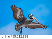Peruvian pelican (Pelecanus thagus), in full breeding colours, Algarrobo Islet, Valparaiso, Chile. Стоковое фото, фотограф Tui De Roy / Nature Picture Library / Фотобанк Лори