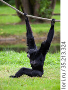 Black-headed Spider Monkey hangs on a rope in a German park. Стоковое фото, фотограф Restyler Viacheslav / Фотобанк Лори