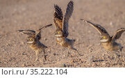 Burrowing owl (Athene cunicularia) chicks, approximately 3 weeks after leaving burrow, running to meet parent arriving with food. Marana, Sonoran Desert, Arizona, USA. Стоковое фото, фотограф Jack Dykinga / Nature Picture Library / Фотобанк Лори