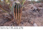 Saguaro cactus (Carnegiea gigantea) beneath Palo verde (Cercidium microphyllum) nurse tree, scorched by Big Horn Fire, a wildfire caused by a lightning... Стоковое фото, фотограф Jack Dykinga / Nature Picture Library / Фотобанк Лори