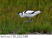 Pied avocet (Recurvirostra avosetta) in grass, Marais / Marsh Vendee , France, June. Стоковое фото, фотограф Loic Poidevin / Nature Picture Library / Фотобанк Лори