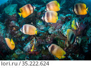 School of Sunburst butterflyfishes (Chaetodon kleinii) swimming along the reefs, while waiting to feed on the eggs of Sergeant major (Abudefduf saxatilis), Lembeh Strait, North Sulawesi, Indonesia. Стоковое фото, фотограф Sirachai Arunrugstitchai / Nature Picture Library / Фотобанк Лори