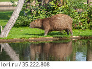 Capybara by the reservoir. Animals at the Serengeti Zoo in Germany. Стоковое фото, фотограф Restyler Viacheslav / Фотобанк Лори