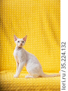 White Devon Rex Kitten Kitty. Short-haired Blue-eyed Cat Of English... Стоковое фото, фотограф Ryhor Bruyeu / easy Fotostock / Фотобанк Лори