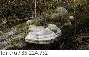 Трутовик на стволе упавшего дерева. A tinder fungus on the trunk of a fallen tree. Стоковое фото, фотограф Евгений Романов / Фотобанк Лори