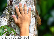 Bornean pygmy squirrel (Exilisciurus exilis) on tree trunk with human hand for actual size comparision. Kinabatangan River, Sabah, Borneo. (composite image) Стоковое фото, фотограф Nick Garbutt / Nature Picture Library / Фотобанк Лори