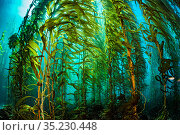 Giant kelp (Macrocystis pyrifera) forest. Santa Barbara Island, Channel Islands. Los Angeles, California, United States of America. North East Pacific Ocean. Стоковое фото, фотограф Alex Mustard / Nature Picture Library / Фотобанк Лори