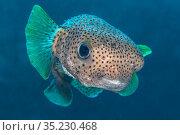 Portrait of Porcupinefish (Diodon hystrix). East End, Grand Cayman, Cayman Islands, British West Indies. Caribbean Sea. Стоковое фото, фотограф Alex Mustard / Nature Picture Library / Фотобанк Лори