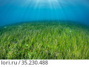 Seagrass meadow (Halodule pinifilia). Seagrass is threatened in the Maldives, where many resorts actively pluck the plants from the water to create a sandy... Стоковое фото, фотограф Alex Mustard / Nature Picture Library / Фотобанк Лори