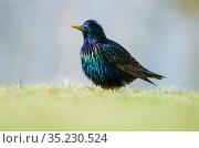 Starling (Sturnus vulgaris) male,Lerwick, Shetland Islands, Scotland... Стоковое фото, фотограф Alex Mustard / Nature Picture Library / Фотобанк Лори