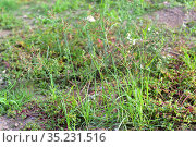 Coco-grass, nut grass or purple nutsedge (Cyperus rotundus) is an... Стоковое фото, фотограф J M Barres / age Fotostock / Фотобанк Лори