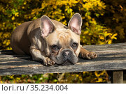 French Bulldog resting lying down in autumn. Connecticut, USA. Стоковое фото, фотограф Lynn M. Stone / Nature Picture Library / Фотобанк Лори
