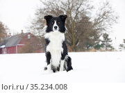 Border Collie sitting in snow. Illinois, USA. November. Стоковое фото, фотограф Lynn M. Stone / Nature Picture Library / Фотобанк Лори