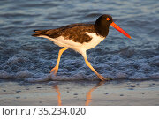 American oyster-catcher (Haematopus palliatus) walking along shoreline in morning light. Tierra Verde, Florida, USA. August. Стоковое фото, фотограф Lynn M. Stone / Nature Picture Library / Фотобанк Лори