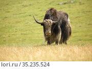 Горный домашний як - сарлык в горной степи на Алтае / Mountain ox sarlyk or in lating Bos grunniens in highland natural environment. Стоковое фото, фотограф Serg Zastavkin / Фотобанк Лори